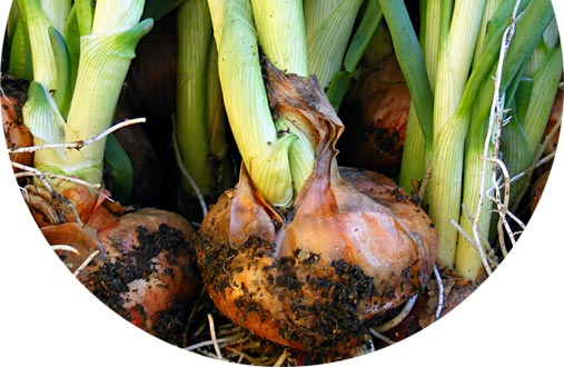 Onions in the ground